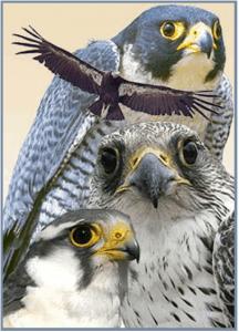 Birds Of Prey Presentation And Demonstration Hopkinton Area Land Trust
