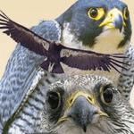 Birds of Prey Presentation and Demonstration